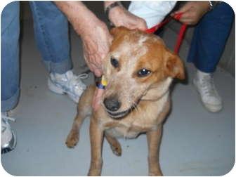 "Australian Cattle Dog/Blue Heeler Mix Dog for adoption in MARION, Virginia - ""Lestie"""