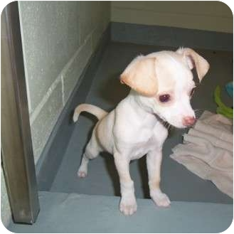Chihuahua/Maltese Mix Puppy for adoption in Slidell, Louisiana - Monty