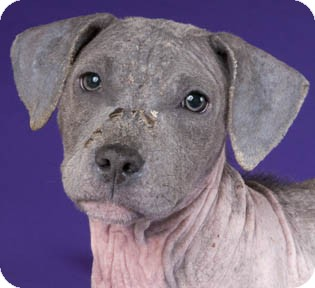 American Pit Bull Terrier Puppy for adoption in Chicago, Illinois - Pai
