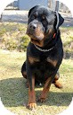 Rottweiler Dog for adoption in Tinton Falls, New Jersey - Guiness