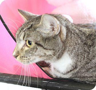 Domestic Shorthair Cat for adoption in Winston-Salem, North Carolina - Madison