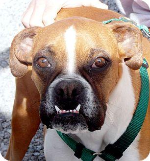 Boxer Dog for adoption in Boise, Idaho - MOLLY