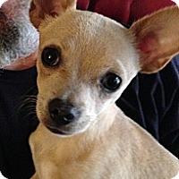 Adopt A Pet :: Lil' G - Norman, OK