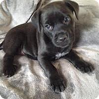 Adopt A Pet :: Baby Peyton - Marlton, NJ