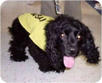 Cocker Spaniel Dog for adoption in Bernardsville, New Jersey - Biscuit