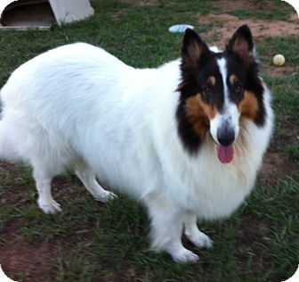 Collie Dog for adoption in Stephenville, Texas - Simba