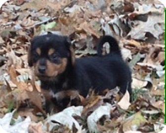 Golden Retriever/Sheltie, Shetland Sheepdog Mix Puppy for adoption in Fishkill, New York - BERNARD