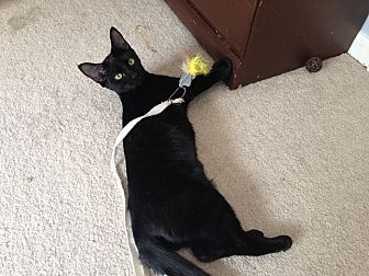 Domestic Shorthair Cat for adoption in Marietta, Georgia - Christina