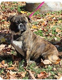 Boston Terrier/Pekingese Mix Dog for adoption in Plainfield, Connecticut - Bella