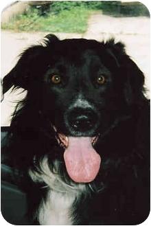 Border Collie/Australian Shepherd Mix Dog for adoption in Owatonna, Minnesota - Sport