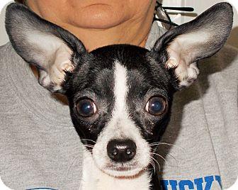 Chihuahua Puppy for adoption in Plain City, Ohio - Zippy