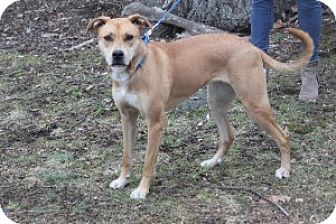 Carolina Dog/Shepherd (Unknown Type) Mix Dog for adoption in Bedford Hills, New York - Sally