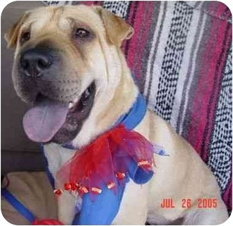 Shar Pei Dog for adoption in Houston, Texas - Brooke