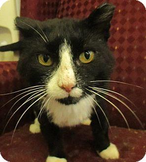 Domestic Shorthair Cat for adoption in Lloydminster, Alberta - Bender