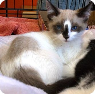 Siamese Kitten for adoption in Castro Valley, California - Snow