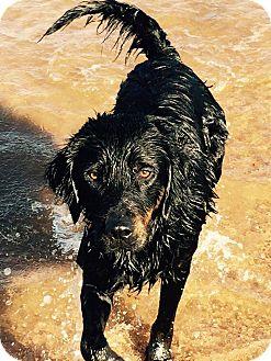 Gordon Setter/Labrador Retriever Mix Dog for adoption in Buchanan Dam, Texas - Jack