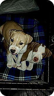 American Pit Bull Terrier Puppy for adoption in Murrieta, California - Leroy & Bandit