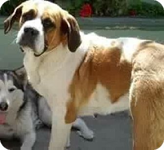 St. Bernard Dog for adoption in Long Beach, California - Indie