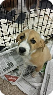 Collie Mix Dog for adoption in House Springs, Missouri - marge