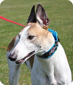 Greyhound Dog for adoption in Carol Stream, Illinois - KB's Hat Trick