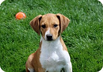 Beagle/Labrador Retriever Mix Puppy for adoption in Liberty Center, Ohio - Happy