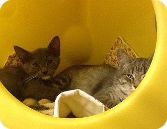Domestic Shorthair Kitten for adoption in Warren, Ohio - Boots