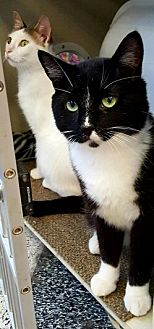 Domestic Shorthair Cat for adoption in Lyons, Illinois - Zephyr adoring you and only you