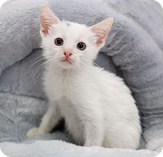 Domestic Shorthair Kitten for adoption in Tallahassee, Florida - Bates