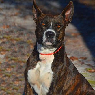 Carolina Dog/American Staffordshire Terrier Mix Dog for adoption in Golsboro, North Carolina - SEBASTIAN