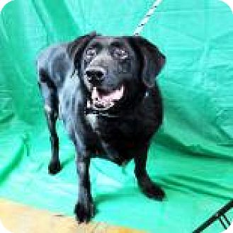Labrador Retriever Mix Dog for adoption in Denver, Colorado - Jell-o