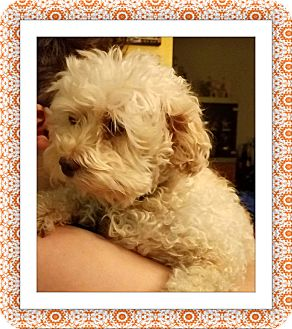 Bichon Frise Dog for adoption in Tulsa, Oklahoma - Adopted!! Bliss - OH