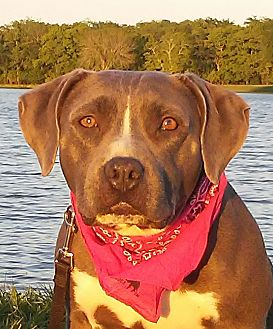 Pit Bull Terrier/Beagle Mix Dog for adoption in New Hartford, Connecticut - Ana - adorable pocket-size