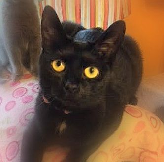 Domestic Shorthair Cat for adoption in Burlington, North Carolina - MONET