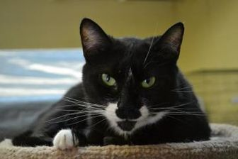 Domestic Shorthair/Domestic Shorthair Mix Cat for adoption in Erie, Pennsylvania - Tracey