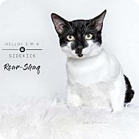 Domestic Shorthair Kitten for adoption in Boston, Massachusetts - Roar-Shaq