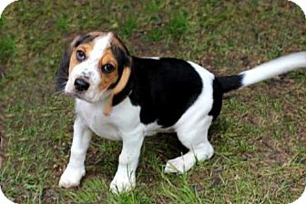 Beagle Mix Puppy for adoption in Portland, Maine - PUPPY FRECKLES