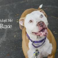 Adopt A Pet :: Roxi - West Des Moines, IA