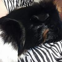 Adopt A Pet :: Hank - Hazel Park, MI
