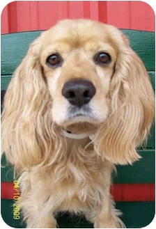 Cocker Spaniel Dog for adoption in Sugarland, Texas - Chase