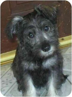 Schnauzer (Miniature) Puppy for adoption in Poway, California - ROSIE