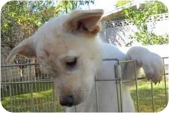 Golden Retriever/Shepherd (Unknown Type) Mix Puppy for adoption in Phoenix, Arizona - Guidettes