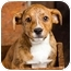 Photo 1 - Australian Cattle Dog/Boxer Mix Puppy for adoption in Portland, Oregon - Baby River