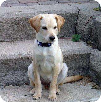 Golden Retriever/Labrador Retriever Mix Dog for adoption in Denver, Colorado - Peanut/Annie