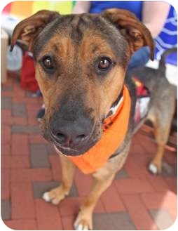 Shepherd (Unknown Type)/Rottweiler Mix Dog for adoption in Chicago, Illinois - Dave