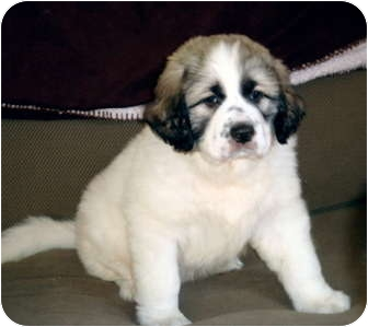 Great Pyrenees/Anatolian Shepherd Mix Puppy for adoption in Bloomington, Illinois - Bernard