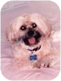 Shih Tzu/Poodle (Miniature) Mix Dog for adoption in Bellflower, California - URGENT! Morgan