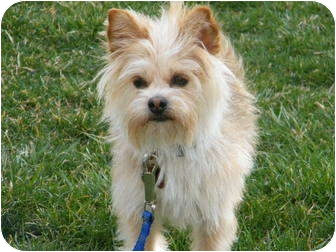 Yorkie, Yorkshire Terrier Mix Dog for adoption in Beavercreek, Ohio - SNICKERS