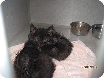 American Shorthair Kitten for adoption in Collinsville, Oklahoma - Smokey