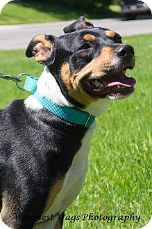Dachshund/Rat Terrier Mix Dog for adoption in Calgary, Alberta - Delilah