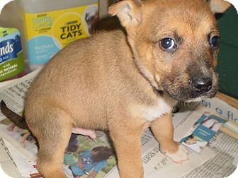 German Shepherd Dog/Boxer Mix Puppy for adoption in Sylva, North Carolina - Shepherd/Boxer Litter